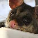 Possum in our down pipe by aussieazsx