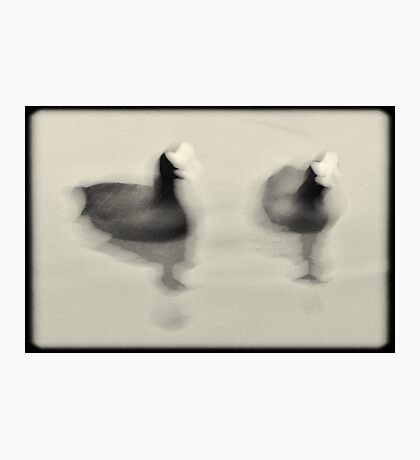 Coots Photographic Print