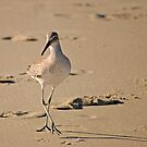 Dainty Willet by Robin Black