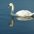 Swan relections by Meladana