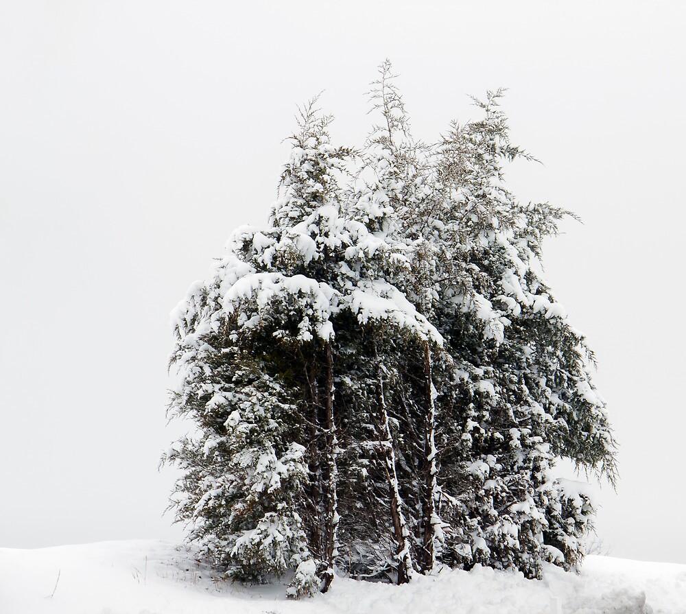 Wintry Cedars by Greg Booher