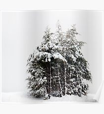 Wintry Cedars Poster