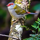 Red Browed Finch... by Tracie Louise