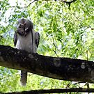 Killer Kookaburra... by jesskato
