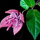 Fuchsia XXII by Tom Newman