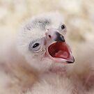 Aplomado Falcon chicks by Robbie Knight