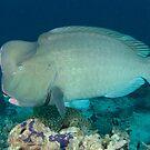 Bumphead parrotfish - Bolbometopon muricatum by Andrew Trevor-Jones