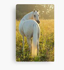 Paso Fino horse in the morning Canvas Print