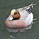 Wigeon by dilouise