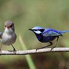 splendid fairy wren pair by birdpics