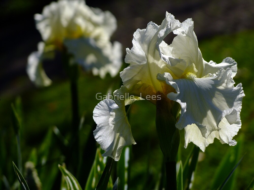 Bearded Iris - White Lightening by Gabrielle  Lees