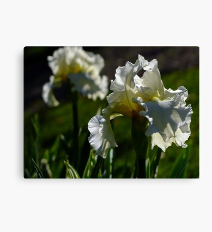 Bearded Iris - White Lightening Canvas Print