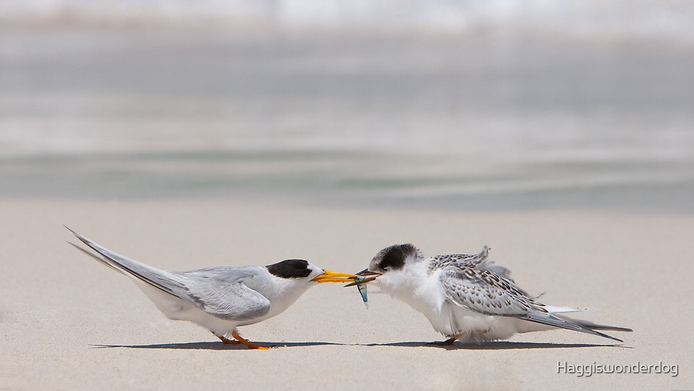 Meal-time - Fairy Terns by Georgina Steytler