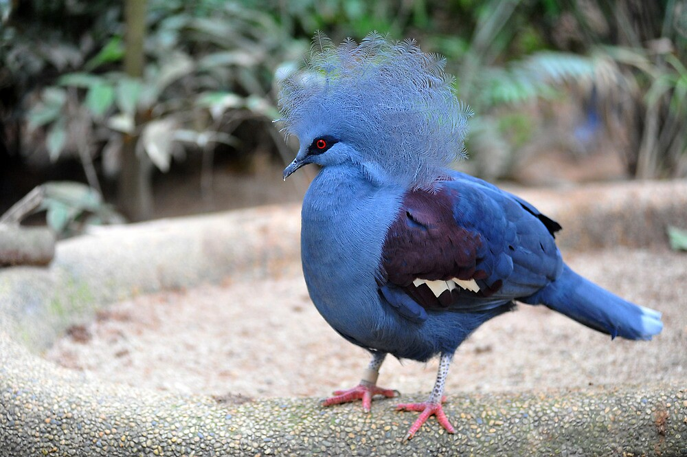 Quot Western Crowned Pigeon Singapore Quot By Ralph De Zilva