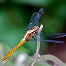 DRAGONFLIES by normanorly