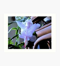 First Christmas Cactus Bloom For 2011 Art Print