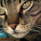 beautiful cat by cintrao