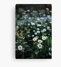 Daisies patch Canvas Print