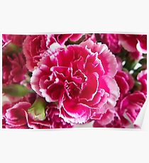 White tipped Pink Carnation Poster