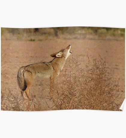 Coyote Serenade  Poster