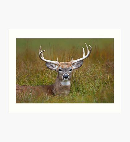 White-tailed deer Buck Art Print