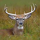 White-tailed deer Buck by Jim Cumming