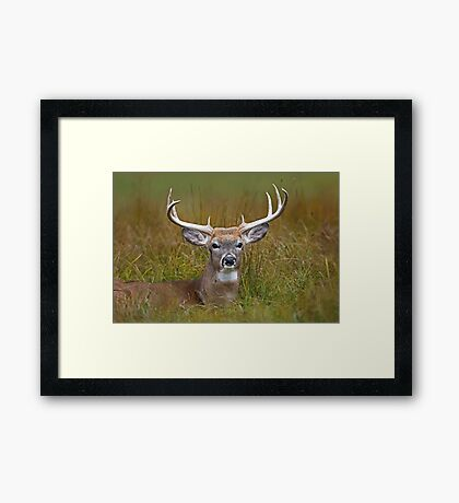 White-tailed deer Buck Framed Print