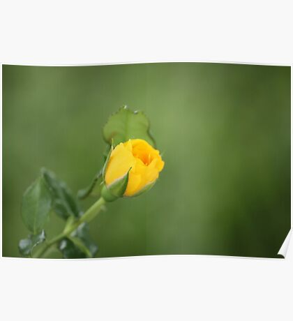 - Yellow Rose - Poster