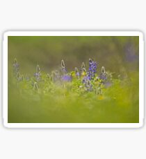 Selective focus on a cluster of Blue lupin (Lupinus pilosus) Sticker