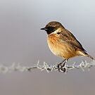 Stonechat (Saxicola torquata) male on barbed wire by Richard Nicoll