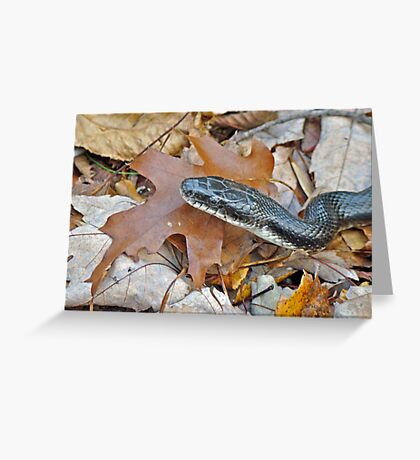 Black Rat Snake - Elaphe obsoleta obsoleta Greeting Card