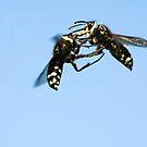 Bald - Face Hornet Fight  by Chuck Gardner