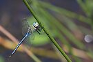 Dragonfly by Will Hore-Lacy