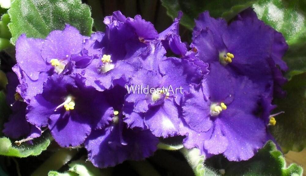 African Violets by WildestArt
