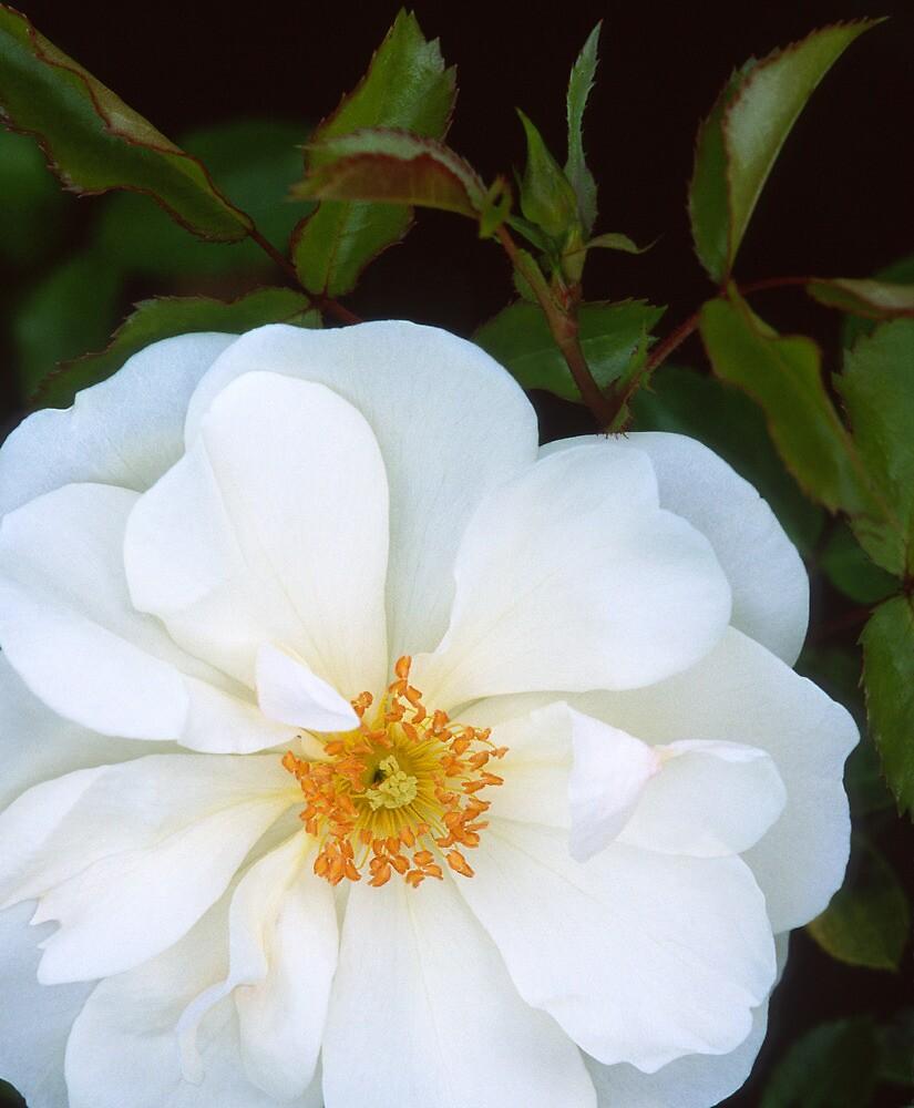 Groundcover Rose Flower Carpet White By Dency Kane Redbubble