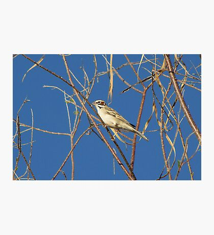 Lark Sparrow ~ Adult Photographic Print