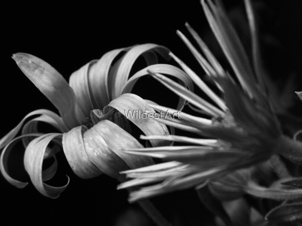 Daisies In Black and White by WildestArt