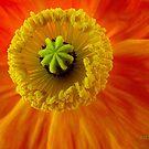 Poppy Heart by Susan McKenzie Bergstrom