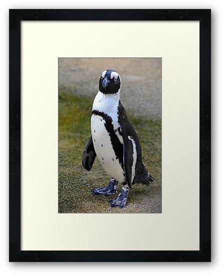 African Penguin (endangered) - Singapore by Ralph de Zilva