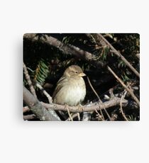 Chipping Sparrow in Branches Canvas Print