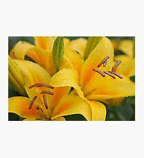 Yellow lillies Photographic Print
