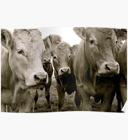The Herd (Limousin Cattle) Poster