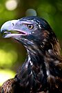 Wedge-tailed Eagle by Renee Hubbard Fine Art Photography