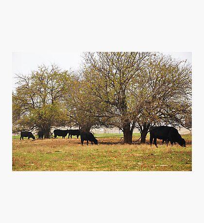 Kansas Beef! Photographic Print