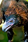 Wedge-tailed Eagle up close by Extraordinary Light