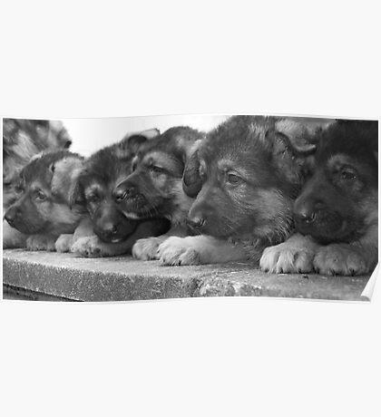 The Litter- German Shepherd Puppies. Poster