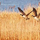 Canada Geese by M.S. Photography/Art