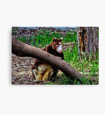 Matschie's Tree Kangaroo Canvas Print