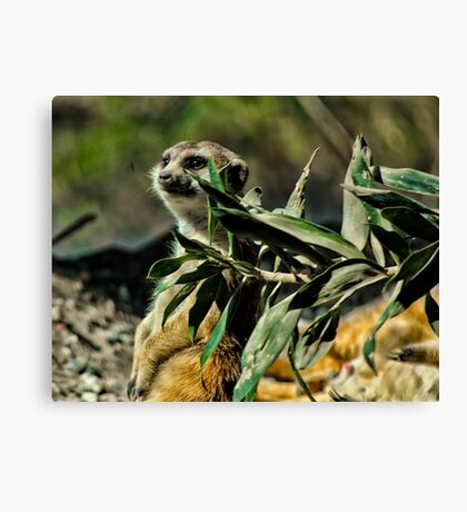 Slender-tailed Meerkat Canvas Print