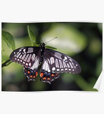 Beautiful Butterfly Poster